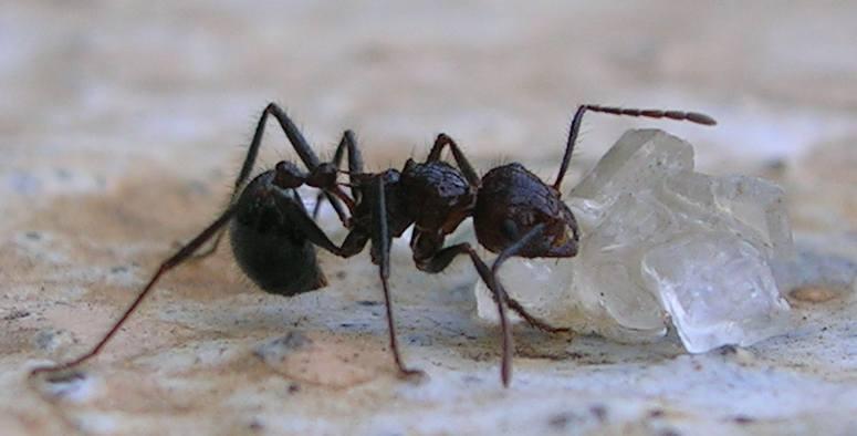 non-keto ant